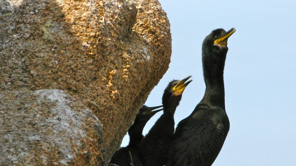 Nesting site of European shag with adult and two fledgings at Sagres