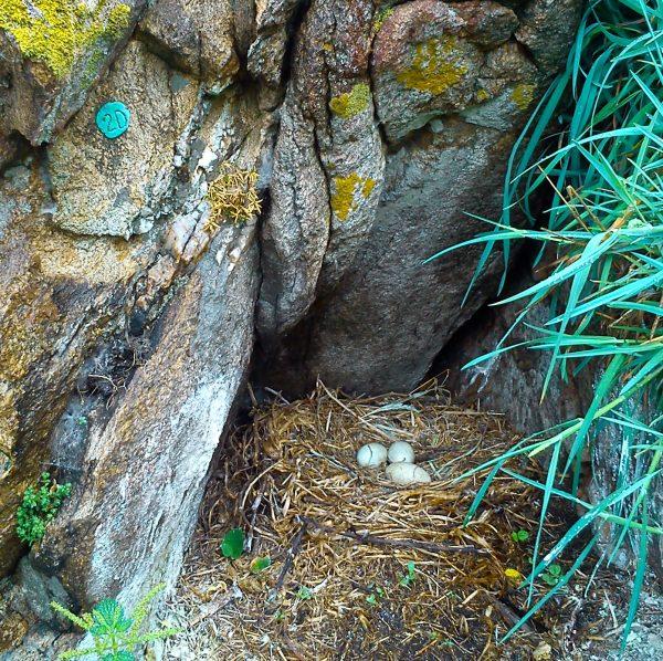 nido de cormorán en la isla de Ons